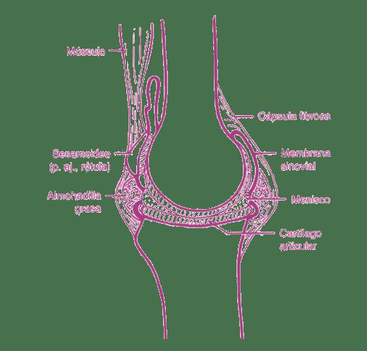 dibujo rodilla cuerpo humano